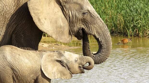 Спасаясь от браконьеров, слоны изменили свою ДНК