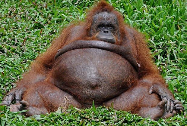В мире толстых животных