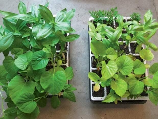 Выращивание рассады без удобрений (справа) и с применением удобрений (слева)
