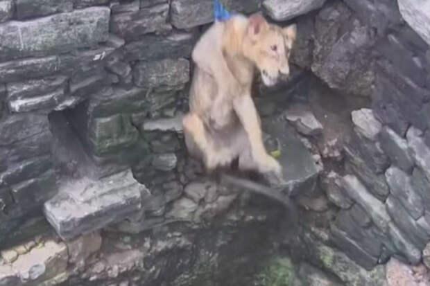 Львица провалилась в глубокий колодец и люди рискуя жизнью пришли на помощь