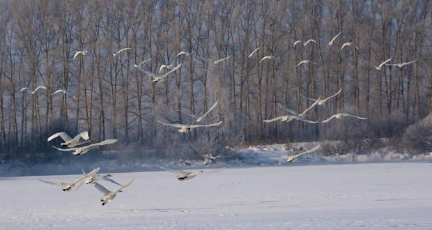 Лебеди, зимующие на Алтае!