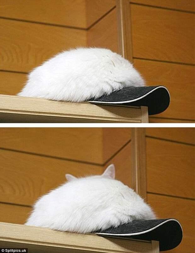 11. Меховая шапка из кота - что может быть круче? домашние животные, коты, кошки, маскировка, маскируется, прятки, смешные кошки