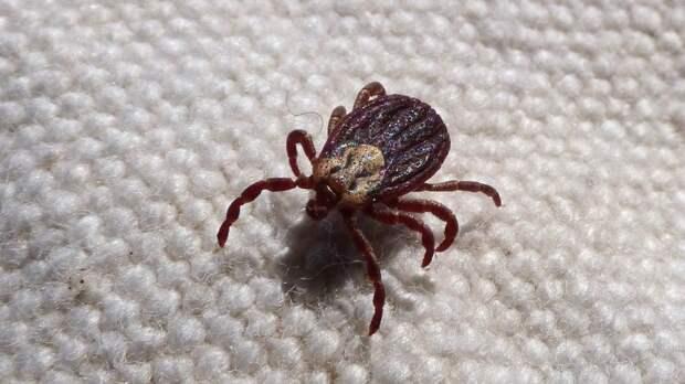 Инфекционист рассказал о нескольких видах клещевого энцефалита