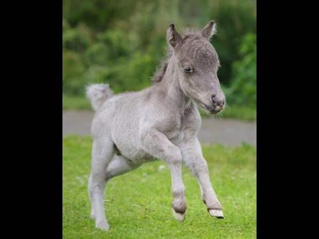 Самый маленький жеребёнок в мире родился в Ленобласти - YouTube