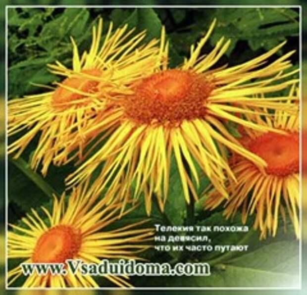 Семейство астровые (фото) — растения и цветы
