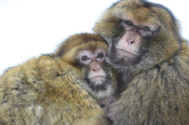 Замерзли. Семья макак в парке дикой природы