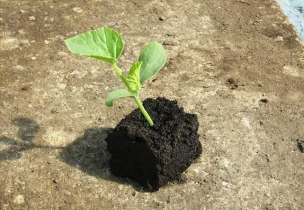 Когда сажать дыню в открытый грунт: подготовка семян, соблюдение сроков посадки — когда сажать дыню в открытый грунт семенами