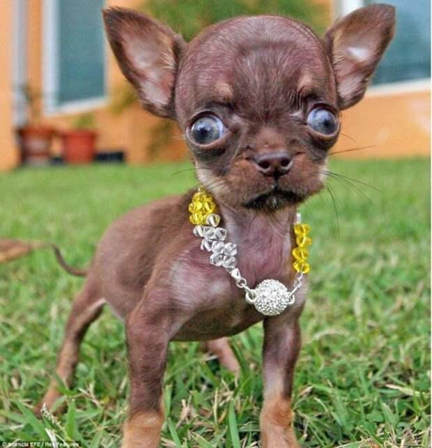 Йоркширский терьер Тим и ещё шесть самых маленьких щенков в мире