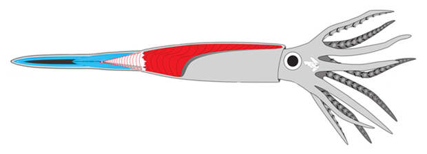 Рис. 2. Схематичное строение белемнита