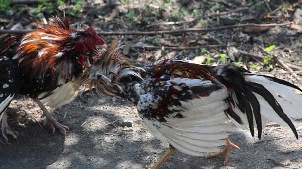 Петушиные бои в Мексике закончились стрельбой и гибелью двух человек