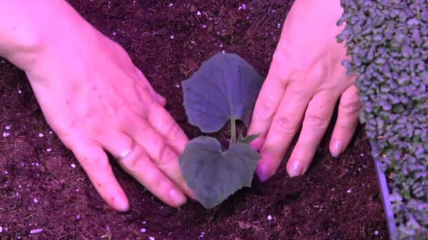 Свежие огурчики круглый год — выращивание в ящиках