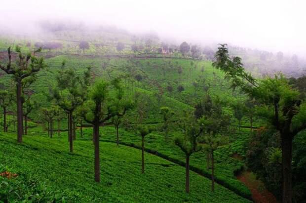 Самые живописные чайные плантации в мире