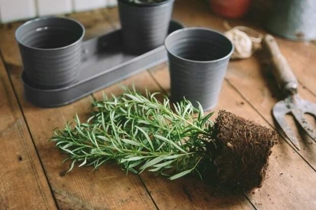 Молодые растения нужно пересаживать каждую весну, увеличивая диаметр горшка на 1-2 см
