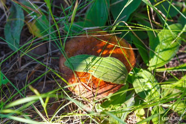 Свердловчанин нашел гриб-гигант сзапахом селедки