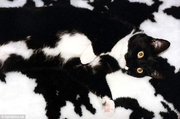 18. На улице замаскироваться не получится, а вот дома закосить под черно-белый половичок - пожалуйста домашние животные, коты, кошки, маскировка, маскируется, прятки, смешные кошки