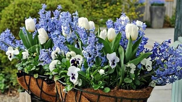 Гиацинт, тюльпан и виола