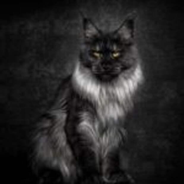 Американская енотовая кошка Maine Coon