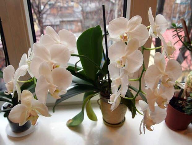 Ваша орхидея зацвела?