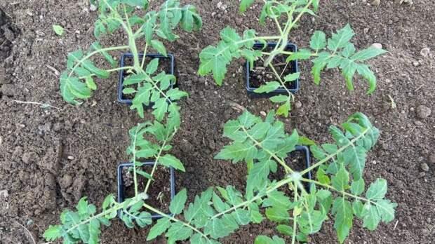 Можно ли посадить четыре томата в одну лунку