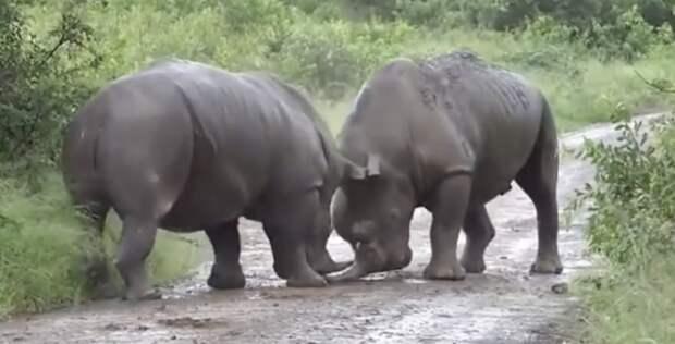 Чудовищная драка двух разъяренных носорогов произошла на глазах пораженных туристов