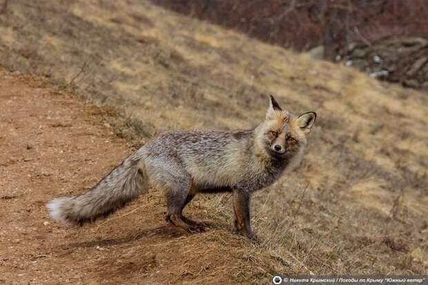 Хитрые лисы из крымской Долины Привидений выманивают у туристов сосиски