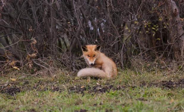 кабанский заказник лисы