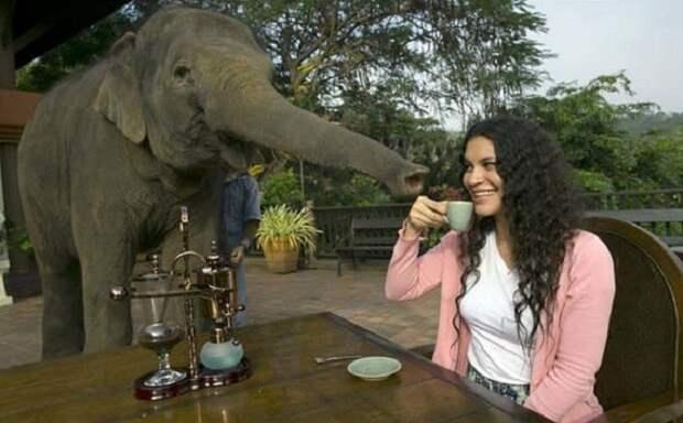 Самый дорогой кофе в мире делается из слоновьих какашек интересно, история, кофе, напитки, познавательно, полезные растения, удивительное рядом, факты