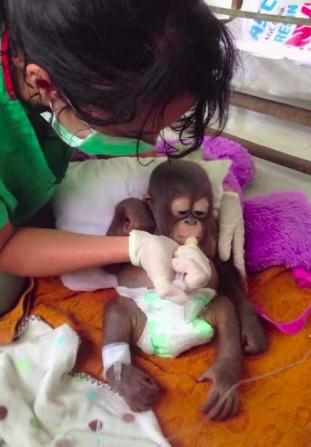 Малыша орангутанга держали в клетке для куриц и кормили только разбавленной сгущенкой