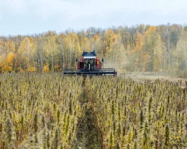 Конопля «в законе»: Аграрии борются за право выращивать рентабельную культуру