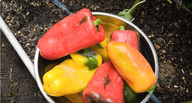 Сладкий перец в конце лета. Несколько шагов, чтобы продлить плодоношение и получить еще один урожай