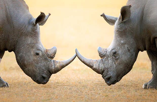 Радиоактивные носороги: животных попытаются спасти с помощью атомных технологий