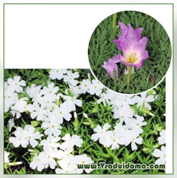 Низкорослые цветы многолетники
