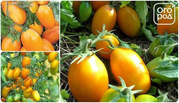 томаты, помидоры сорт Золотой поток
