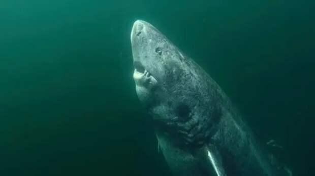 Старейшей в мире акуле скоро исполнится 400 лет