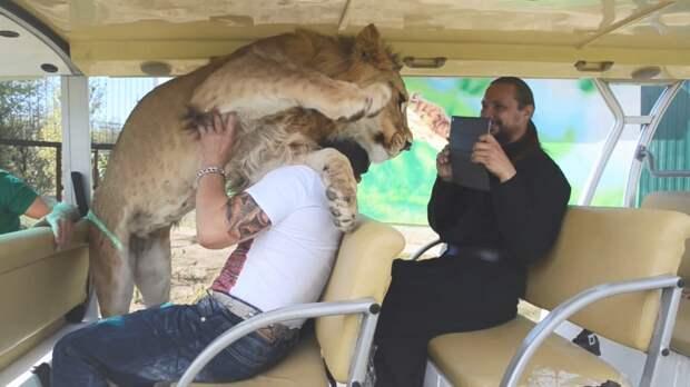 Самые добрые львы в мире, массаж от пеликана и другие моменты из жизни животных