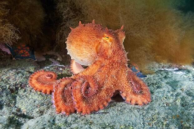 Морской осьминог - ЖИВОЙ УГОЛОК
