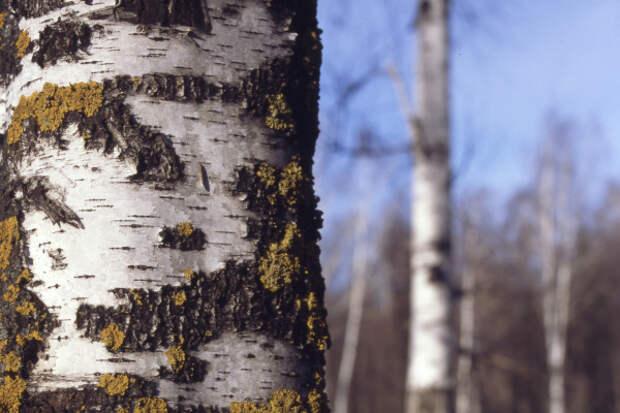 Такое дерево березкой не назовешь