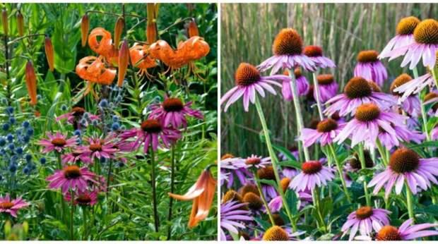 Тигровая лилия, эхинацея пурпурная и синеголовник