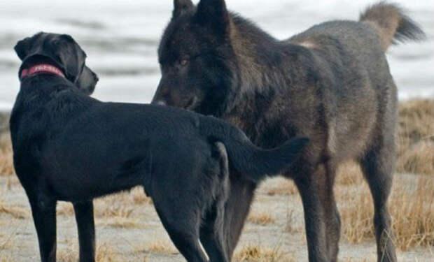 Волк подошел к собаке вплотную: хозяин мог только смотреть