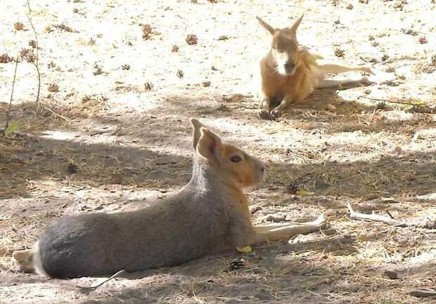 Новосибирский зоопарк - фото 4682 Патагонская мара - Dolichotis patagonica photos
