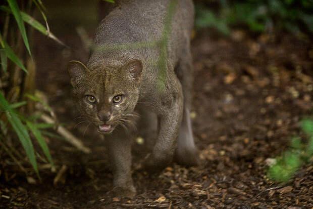 jaguarundis2