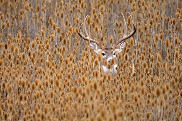 500px Белохвостый олень, спрятавшийся вворсянке.