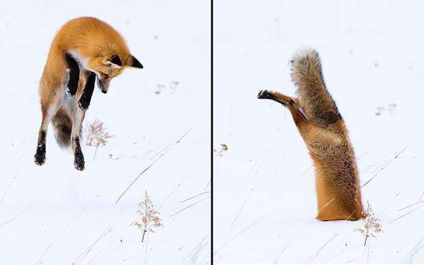 Лиса прыгает головой в снег, чтобы поймать грызунов в Йеллоустонском национальный парке