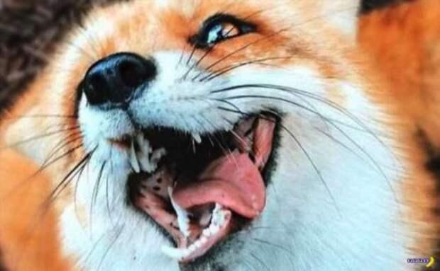 Запрещено улыбаться лисичкам!