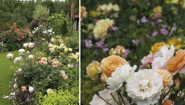 флорибунда Роза Sangerhauser Jubilaumsrose