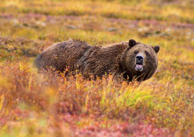 Экс-депутата Якутии на охоте убил медведь
