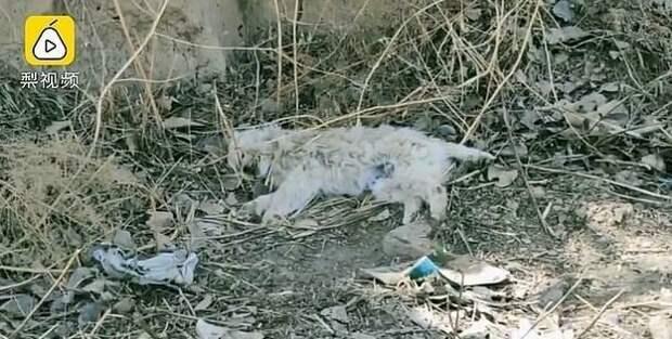 Собаку сбила машина около месяца назад в одной из деревень городского округа Цинъян, КНР гибель, животные, история, китай, охрана, собака, фото