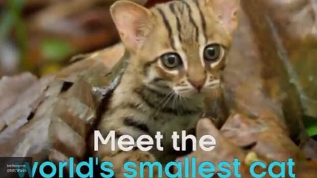 Самый маленький в мире дикий кот попал на видео