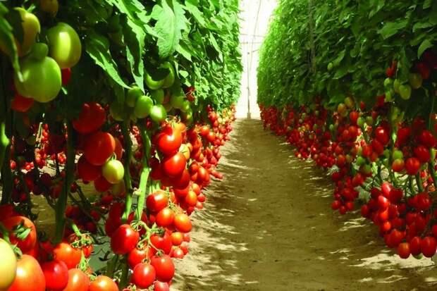 Россия нарастила производство тепличных овощей на 40,5% с начала года