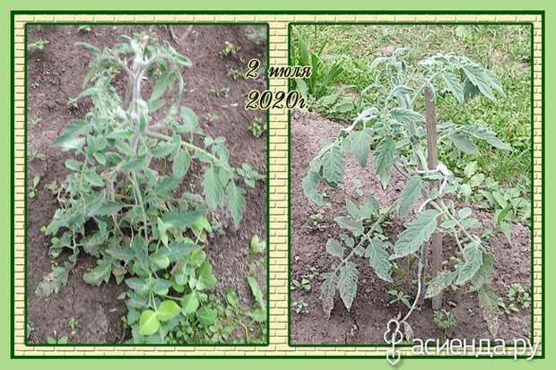 Пушистые томаты на сибирской даче